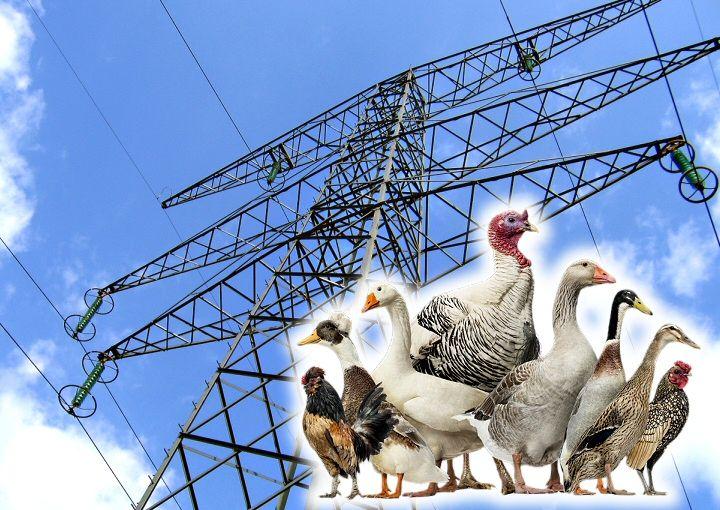 Sensibilité des volailles aux lignes électriques à haute tension