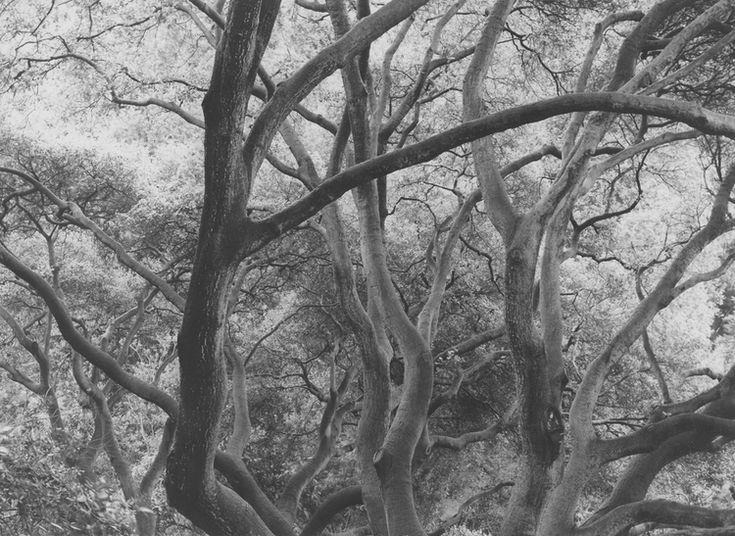 Dorothea Lange,  Sunlit Oak , Berkeley, 1953, vintage print