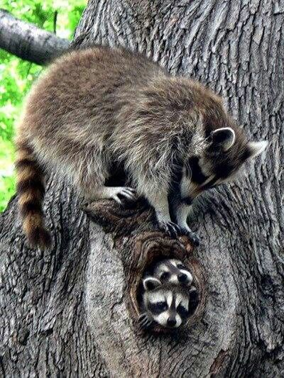 """Raccoons engage in gender-specific social behavior. Related females often share a common area. After a gestation period of about 65 days, two to five young, known as """"kits"""", are born in spring. The kits are raised by their mother until late fall. Their average life expectancy in the wild is 1.8 to 3.1 years."""