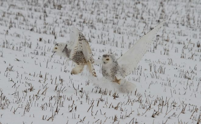 Snow Owls near Goderich
