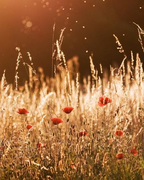 .: Nature, Daily Inspiration, Poppies, Summer Nights, Flower, Photography, Fields