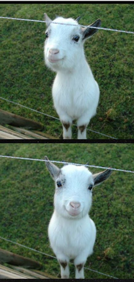 happy goat………EVEN THO I DIDN'T PASS THE  KINDERGARTEN I.Q. TEST, I WAS VOTED --- T O P  G O A T --- IN MY CLASS…………..ccp