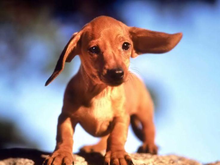 Gorgeous dachshund puppy wallpaper [1600x1200]