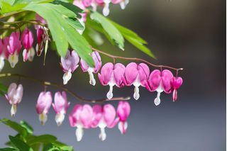 How to Transplant a Bleeding Heart Plant | eHow