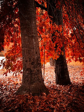 Bright, Victoria BO999Ph -I love trees...and red..this is perfect❤