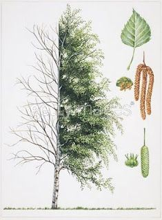 Birch leaf or twig tea is a laxative, and healing to mouth sores, kidney and bladder sediments, and gout. The tea also help rheumatic pains. Make a strong decoction of the twigs, bark and leaves and add it to the bath for relief of eczema, psoriasis, and other moist skin eruptions. Modern medicine has recently confirmed that betulinic acid, formed in birch sap, has anti-tumor properties that help fight cancer.
