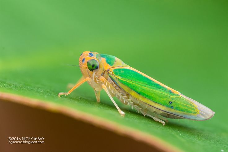 Leafhopper (Cicadellidae) - DSC_3073 | by nickybay