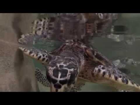 Turtles swimmimg & feeding at Treasure Island Resort Fiji