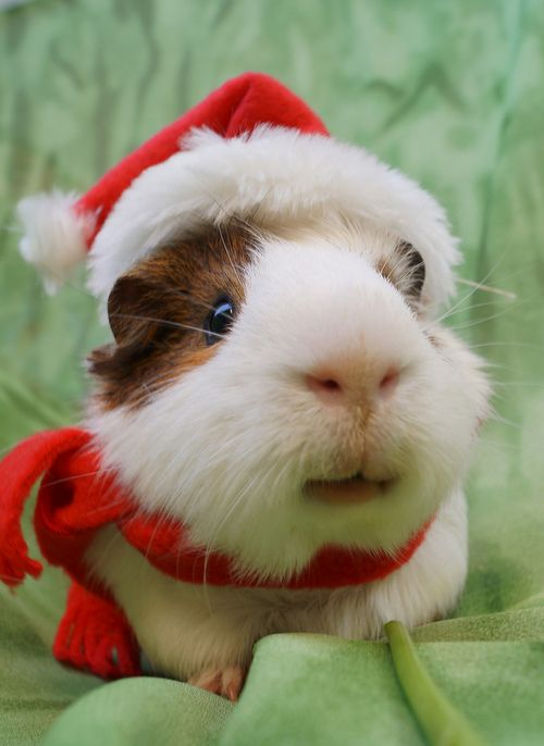 Come join me at my Santa Paws board http://www.pinterest.com/joannerighetti/santa-paws/