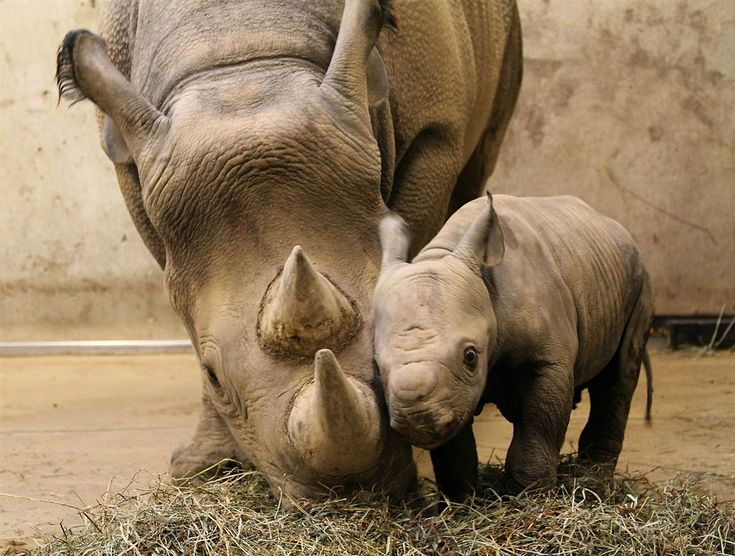 Rhino Momma with Baby