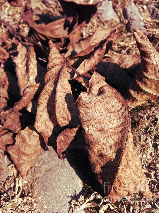 Dry Walnut Leaves