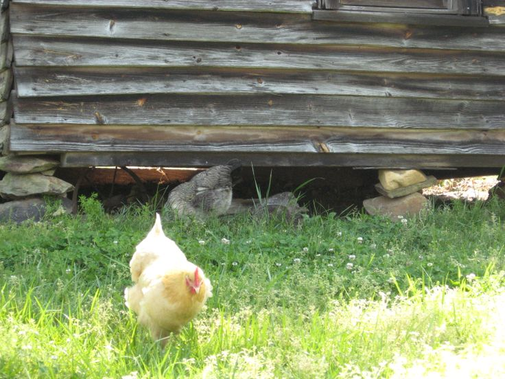 A chicken forages in the grass.