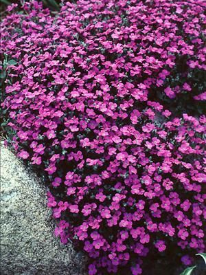 Aubretia false rockcress a spring to early summer purple for Low growing flowering shrubs
