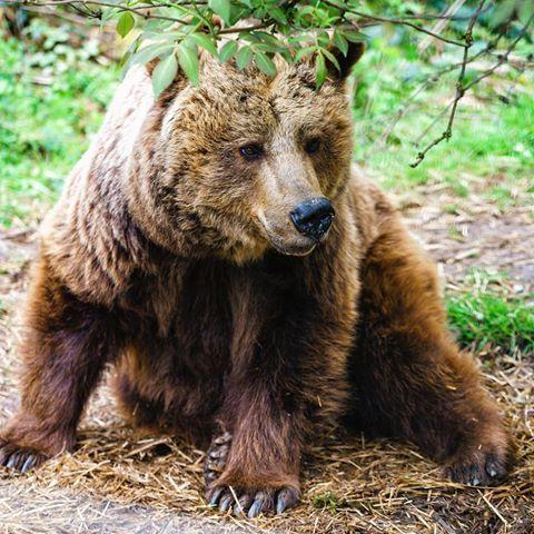 #Bär #bear #schwarzwald #nationalpark #nationalparkschwarzwald #bärenpark #teddy #urlaub #wandern #raubtier #braunbär #sonyalpha7 #zeiss #gmaster #70200mm