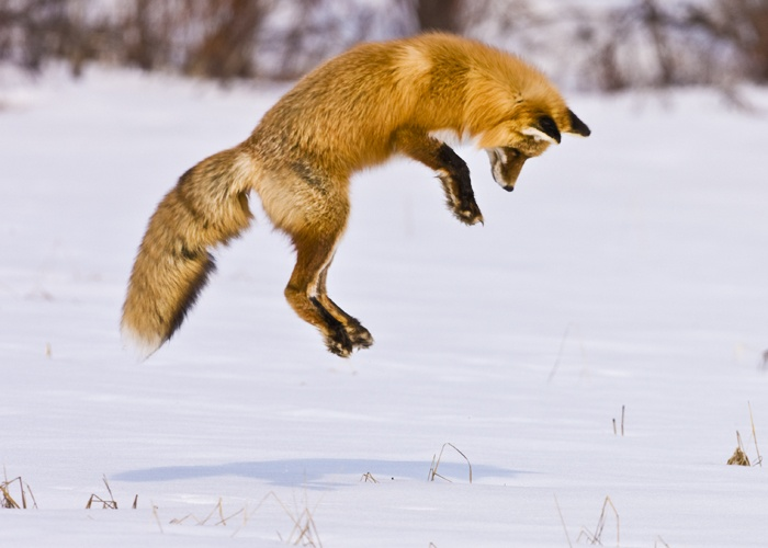 By leaping, the fox avoids the noise of running to the target~