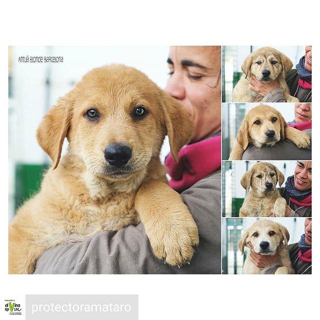 Reposted From Protectoramataro Os Presentamos A Do Re Mi Fa Sol 5 Cachorros De Mastín 3 Machos 2 Hembras Qu Golden Retriever Labrador Retriever Retriever