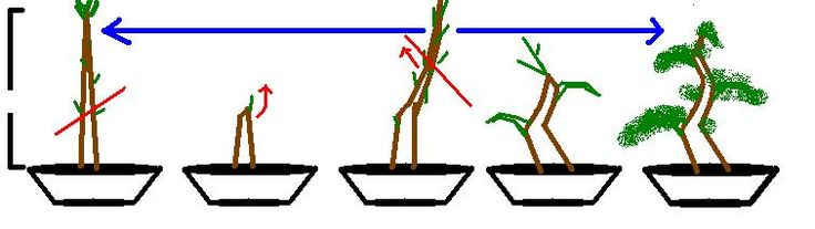 A brief description of how to give some shape to a bonsai.