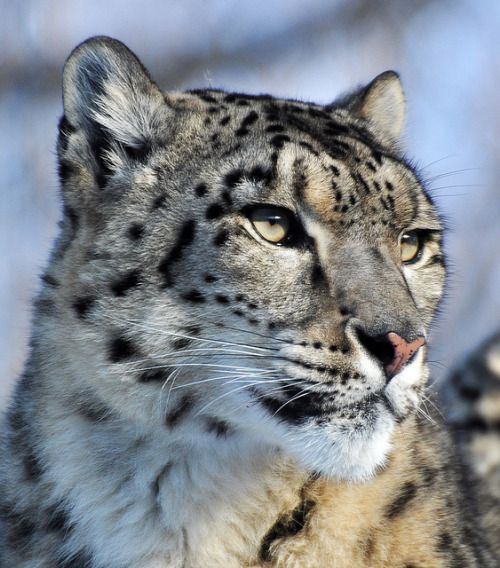 Snow leopard by jamia54