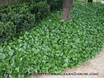Ivy Ground Cover Full Sun Google Search Rock Garden Pinterest English Sun And