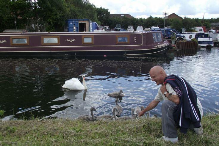 Swan and Cygnets Bridgewater Canal Runcorn