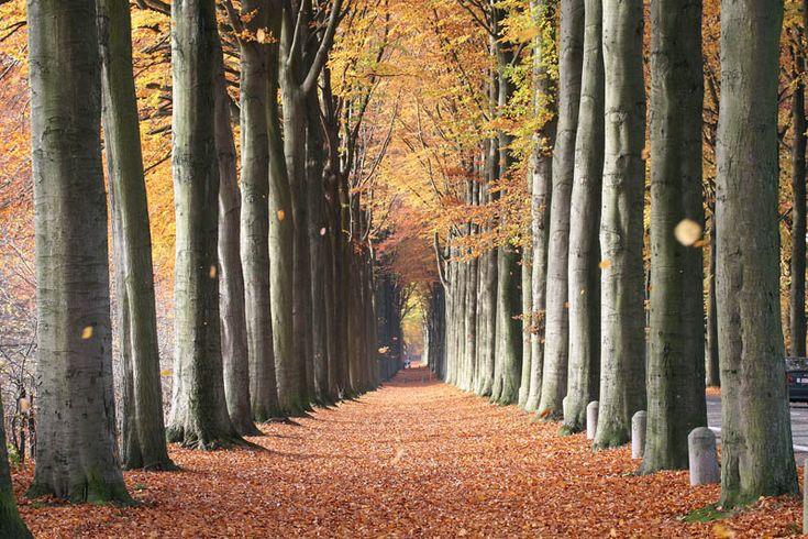 European Beech Trees, Mariemont, Belgium