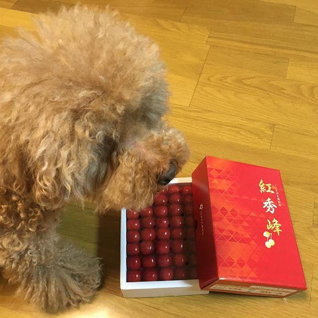 さくらんぼとエルフ。 #犬#愛犬#トイプードル #さくらんぼ#サクランボ #いただきもの#紅秀峰 #寒河江#さがえのさくらんぼ  #dog#toypoodle#cherry