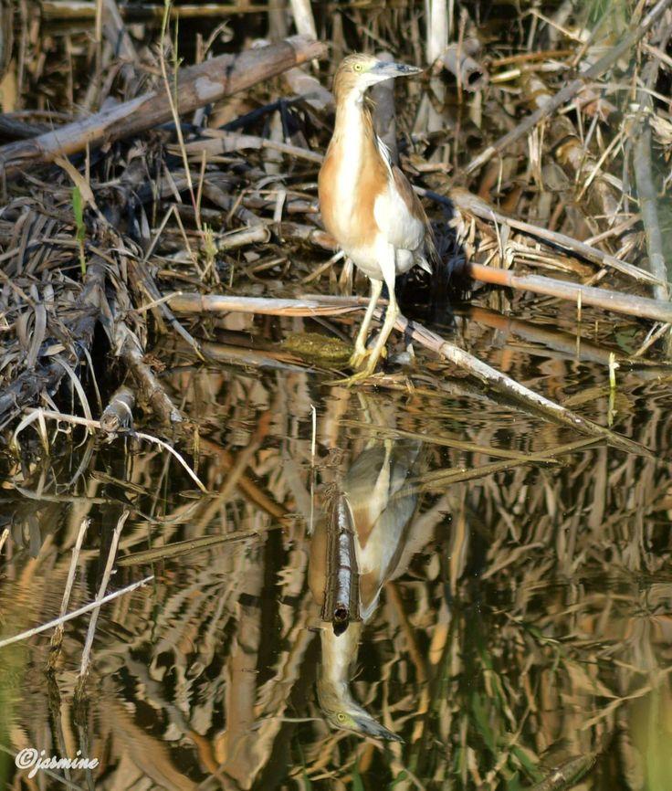 Κρυπτοτσικνιάς (Ardeola ralloides)