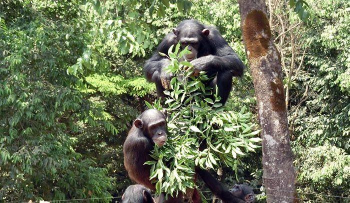 Il gioco degli scimpanzé