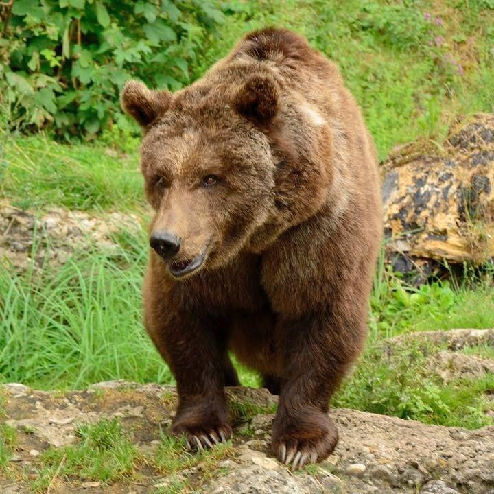 Die 88 besten Bilder zu Bears Brown, Black & Grizzly von Icy Misfit ...