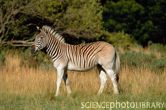 Quagga-like zebra (Equus quagga antiquorum) - photo by Tony Camacho/ SciencePhotoLibrary;  A selective breeding program was begun in 1990 in South Africa to recreate the Quagga, which became extinct in 1883 after intense hunting.  The quagga is much like the Plains zebra, but has a lack of hind stripes and darker body coloring.