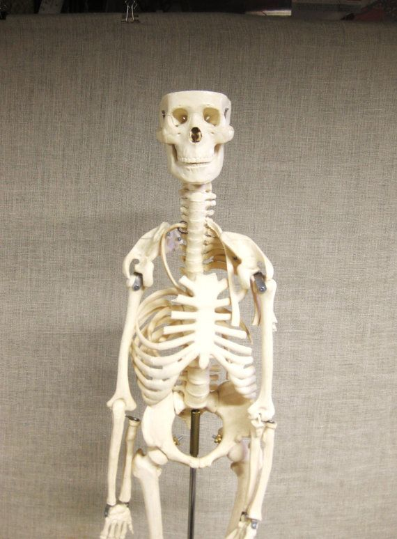 Skeleton Model , Human Anatomy , Model , Science Model , Scale Model , Skeleton , Medical Collectible , Medical School , Halloween , Human