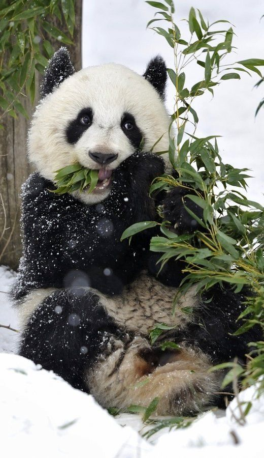 Panda by Josef Gelernter