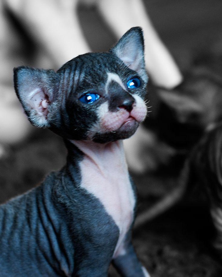 Blue eyes boy, Sphynx Kitten Portrait...wat een mooie sphynx.........
