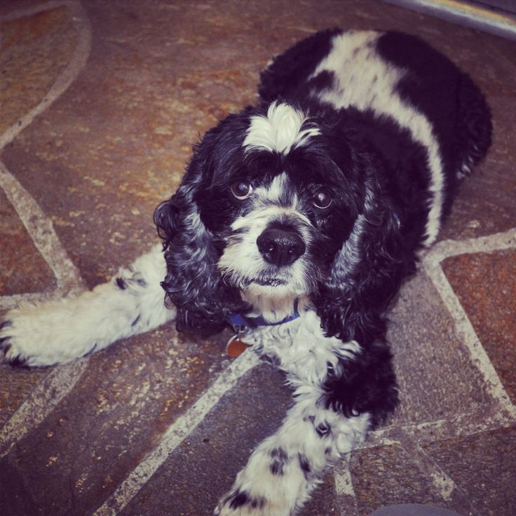 Cutest dog in the world. Black and white cocker spaniel # ...