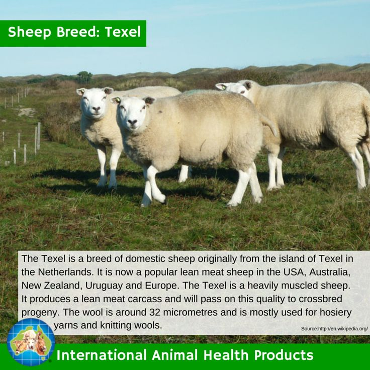 #texelsheep #texel #sheep #ram #ewe #lamb #sheepbreed #breed #facts #green #iah #iahp #internationalanimalhealth #poultry #animal #facts #breeds #livamol #protexin