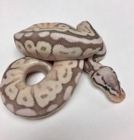 Pastel Cinnabee Lesser Bongo Ball Python - Male #2017M01