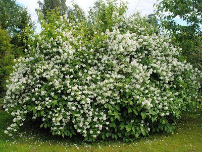 Hagekroken: juni 2011 Fylt skjærsmin, blomstrer i mai-juli, blir 1-1,5 m høy