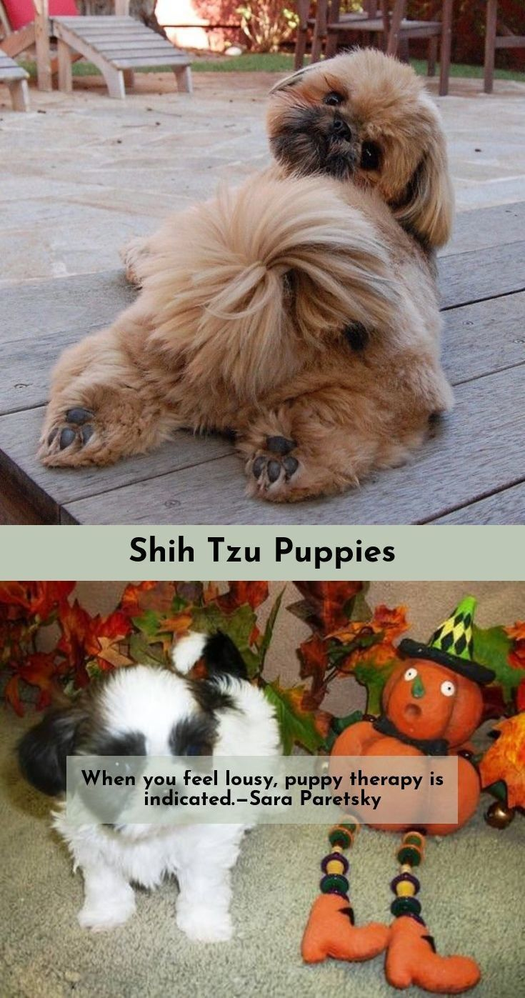 Find Out About Shih Tzu Shihtzu Check The Webpage To Get More