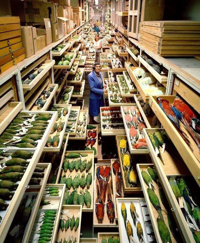A coleção de pássaros do Museu Nacional de História Natural, em Washington, nos EUA, é a terceira maior do mundo.