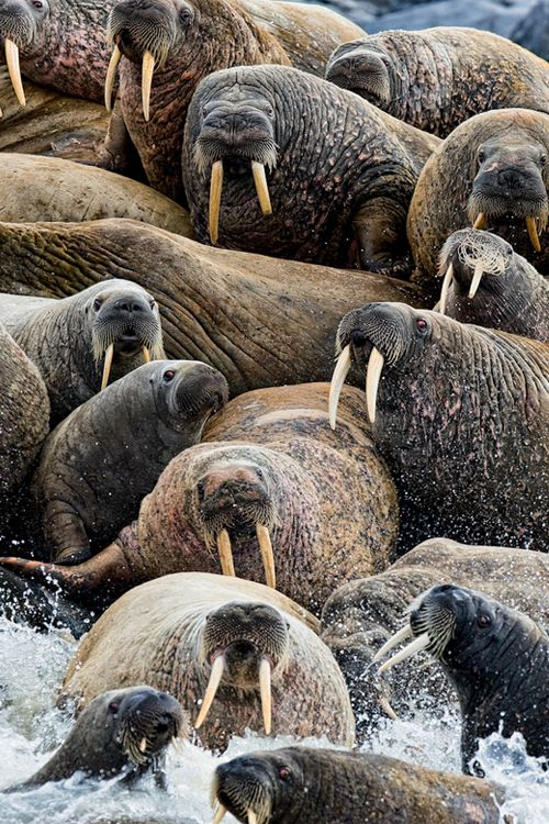 Walrus Rush (by Michael Poliza) I remember the first time I saw a grown male walrus...I knew they were large but wow, he was enormous!