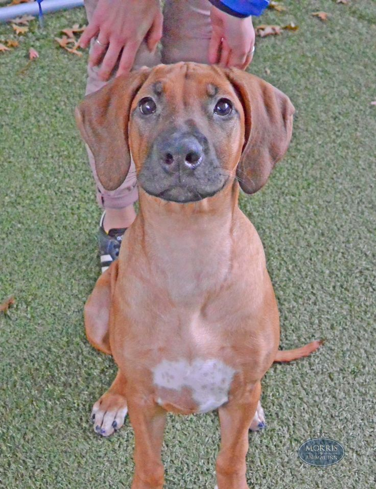 We are in love with 3monthold Rhodesian Ridgeback Bella