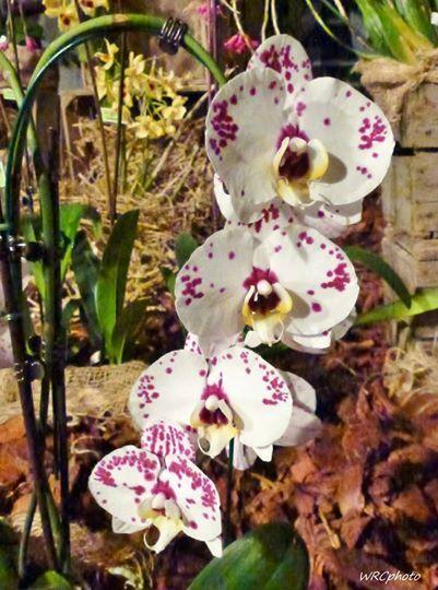 Toujours belle, l'orchidée...
