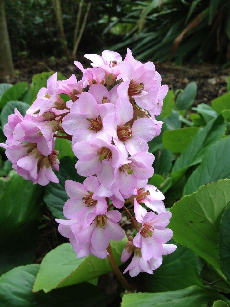 Beautiful winter pink at Williamstown Botanic Gardens