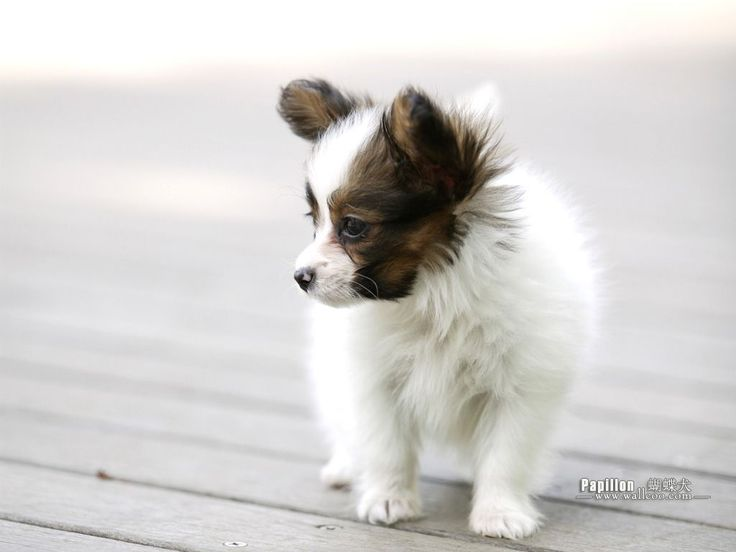 PapillonPuppies Papillon Puppies For Sale In PA Cute animals