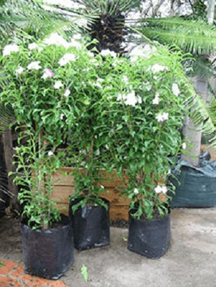 Plumeria pudica - mygardengates.com