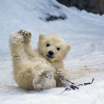 polar bear cub - This is so cute. I'm dying.