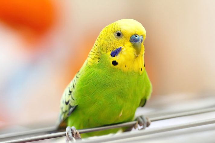 Have a vet question about your pet budgie/parakeet? Check out the BirdChannel.com top 10 budgie/parakeet vet answers.