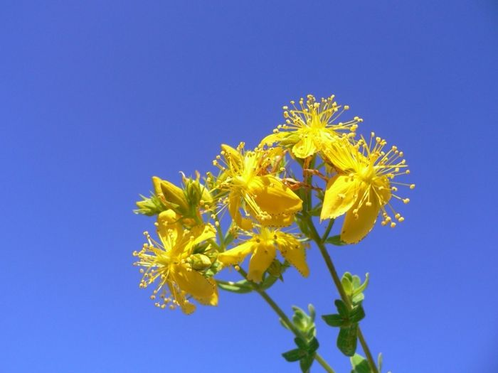 johannikraut heilpflanze wirkung