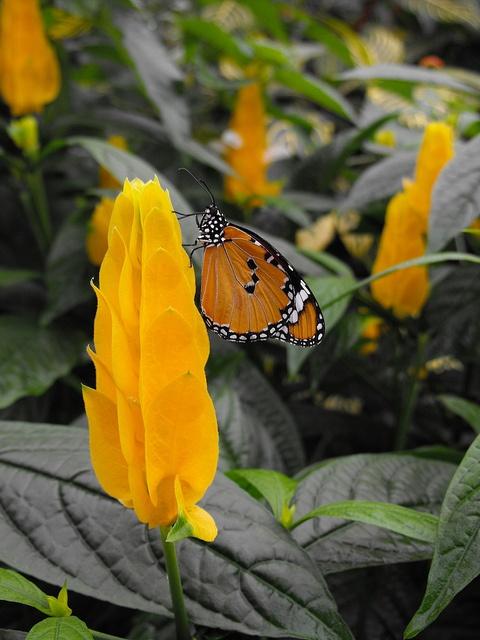 African Monarch (Butterfly) on a yellow flower    African Monarch (Butterfly) on a yellow flower  Latin: Danaus chrysippus  Papillons en Liberté 2012  Montreal Botanical Garden