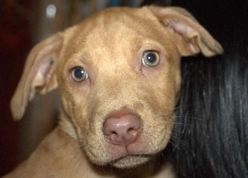 My name is Nova and I am looking for an active family to start the new year off with! I am the last of my litter since my sister got adopted at the shelter we were dropped off at. I was feeling lonely there, so that's when Last Day Dog Rescue took me in! I now live in a foster home with 3 other dogs and a cat. I enjoy playing with everyone. I really love kids and I love giving kisses. I am working on crate training and potty training!...